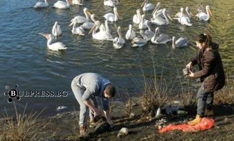 """Спасиха къдроглавите пеликани в яз. """"Розов кладенец"""""""