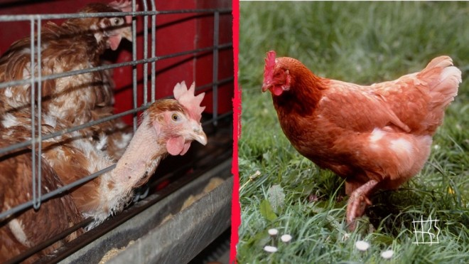 80719_© Compassion in World Farming